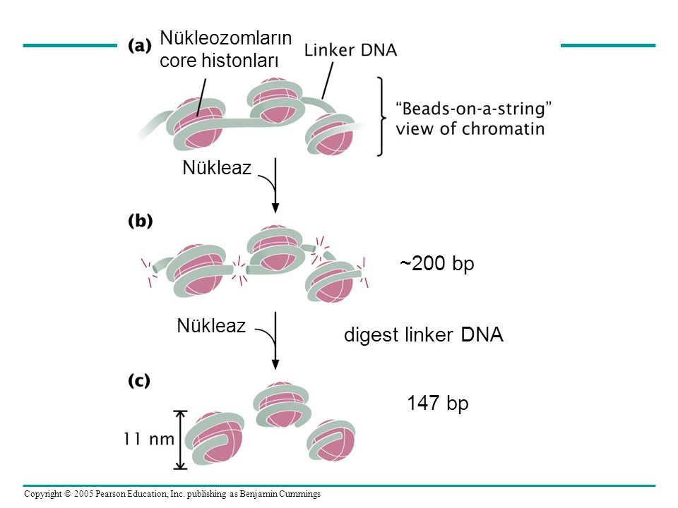 ~200 bp digest linker DNA 147 bp Nükleozomların core histonları