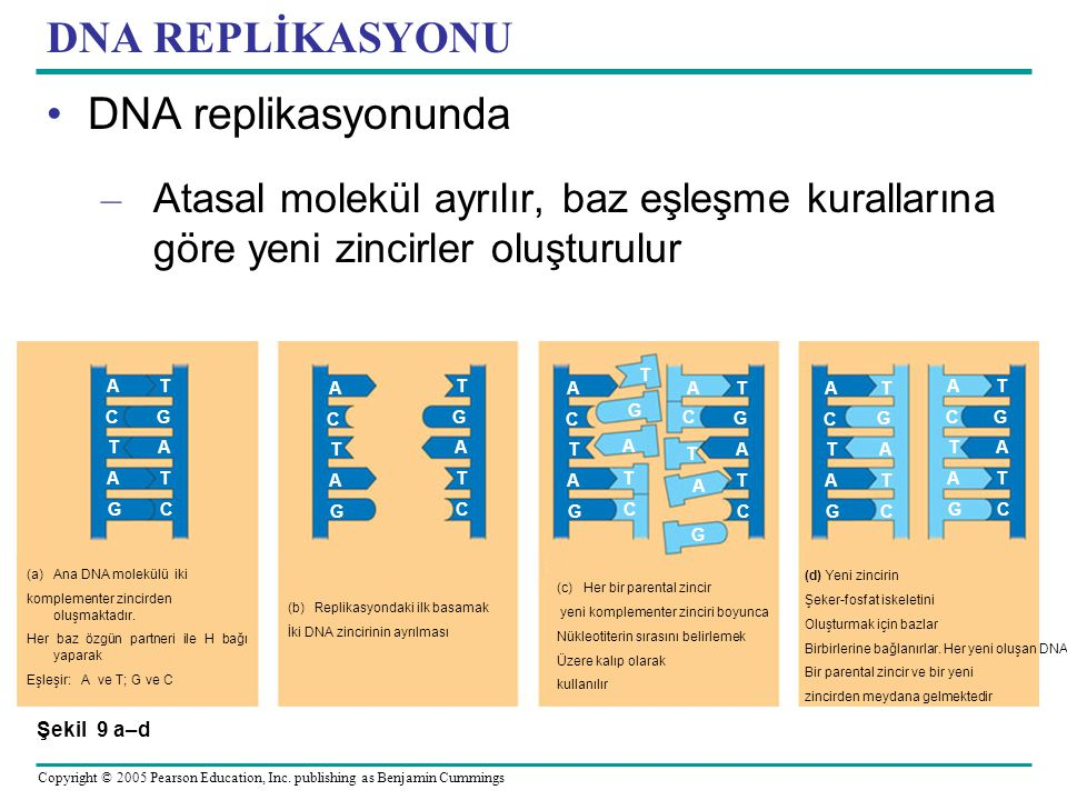 DNA REPLİKASYONU DNA replikasyonunda