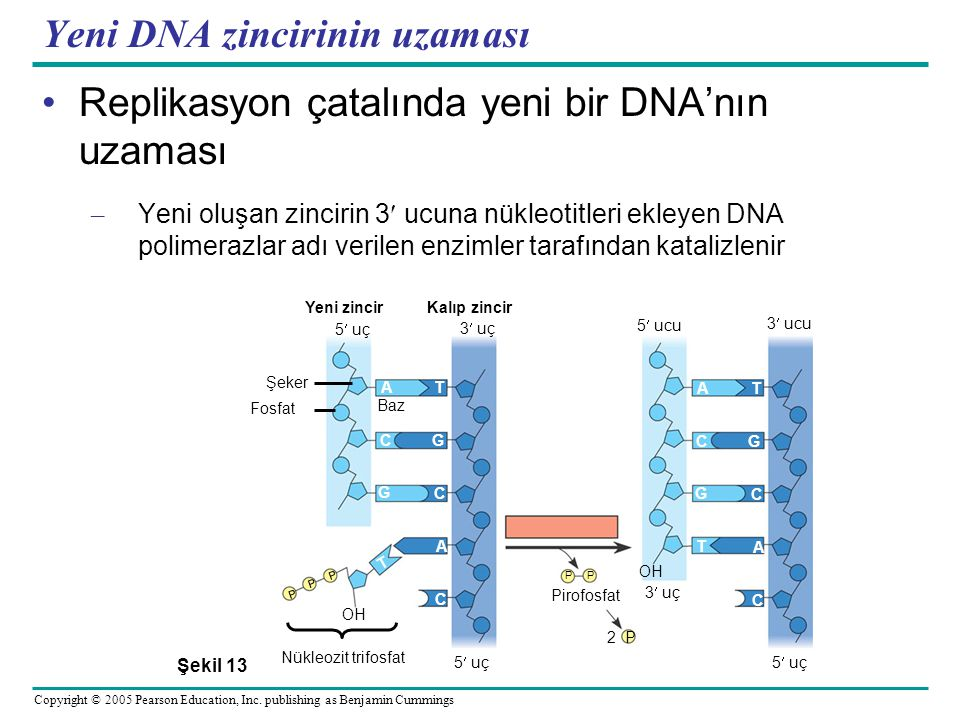 Yeni DNA zincirinin uzaması