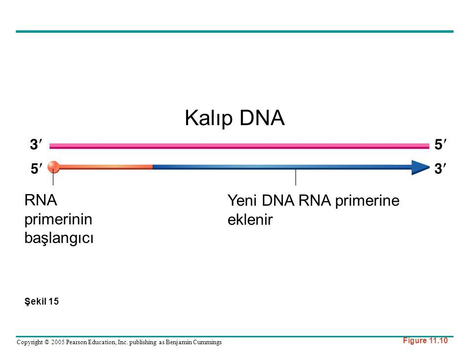 Kalıp DNA RNA Yeni DNA RNA primerine eklenir primerinin başlangıcı