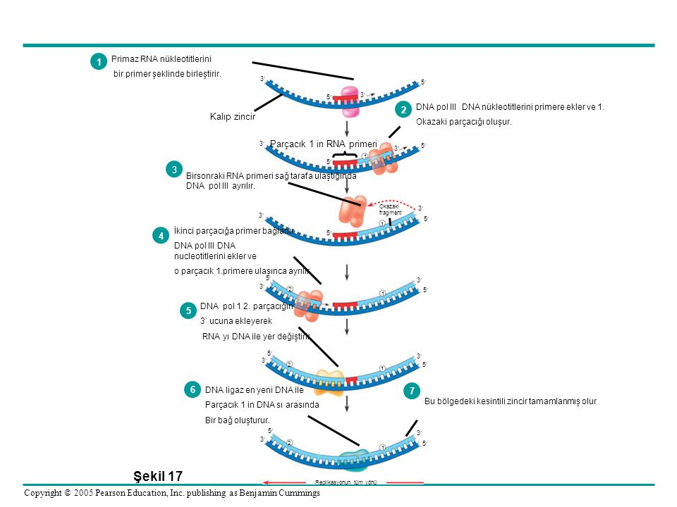 Şekil 17 1 2 Kalıp zincir Parçacık 1 in RNA primeri 3 4 5 6 7