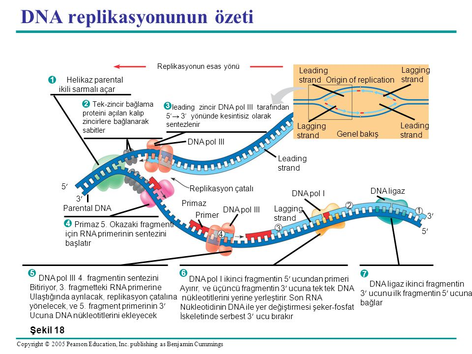 DNA replikasyonunun özeti