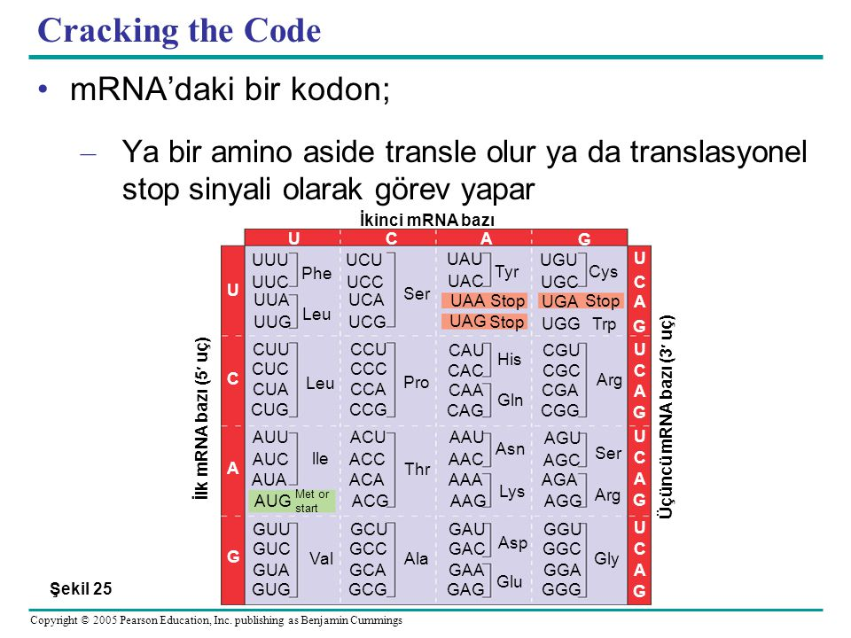 Cracking the Code mRNA'daki bir kodon;