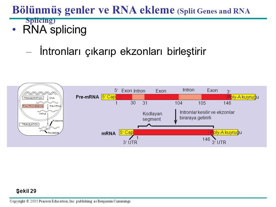 Bölünmüş genler ve RNA ekleme (Split Genes and RNA Splicing)