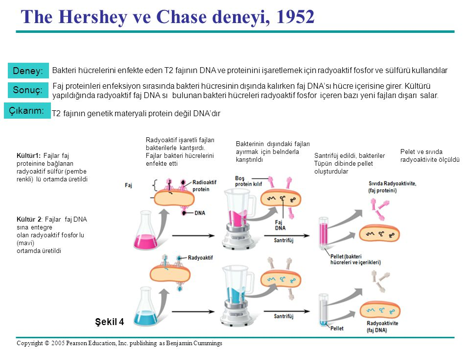 The Hershey ve Chase deneyi, 1952