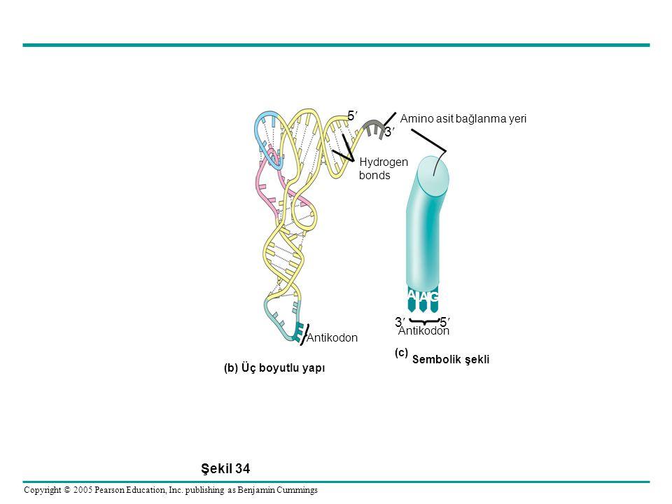 5 3 A G Şekil 34 Amino asit bağlanma yeri Hydrogen bonds Antikodon