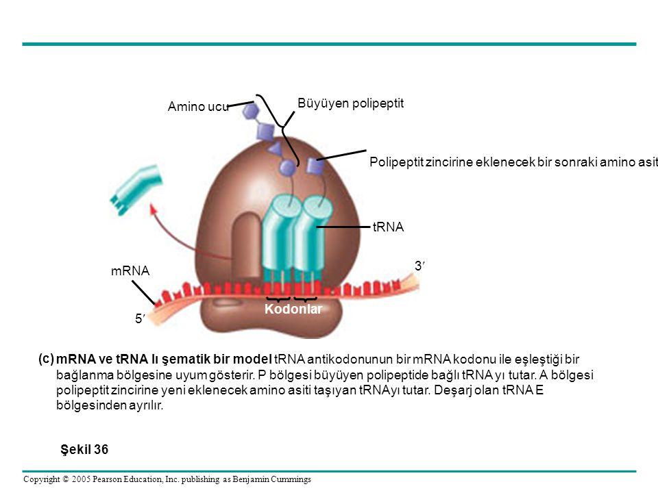 Amino ucu Büyüyen polipeptit. Polipeptit zincirine eklenecek bir sonraki amino asit. tRNA. mRNA.