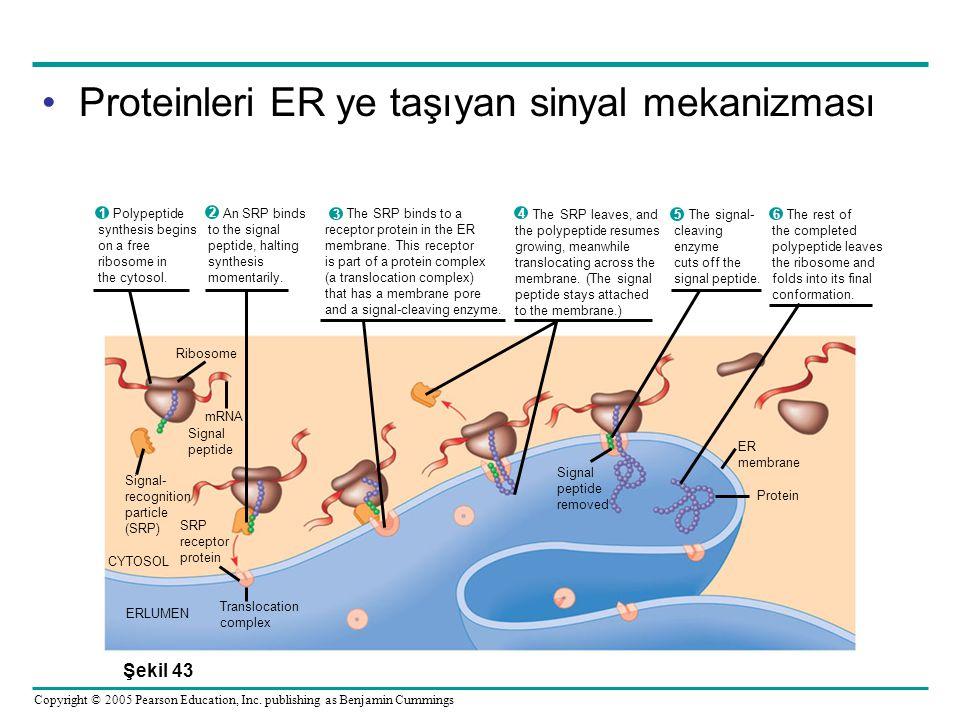 Proteinleri ER ye taşıyan sinyal mekanizması