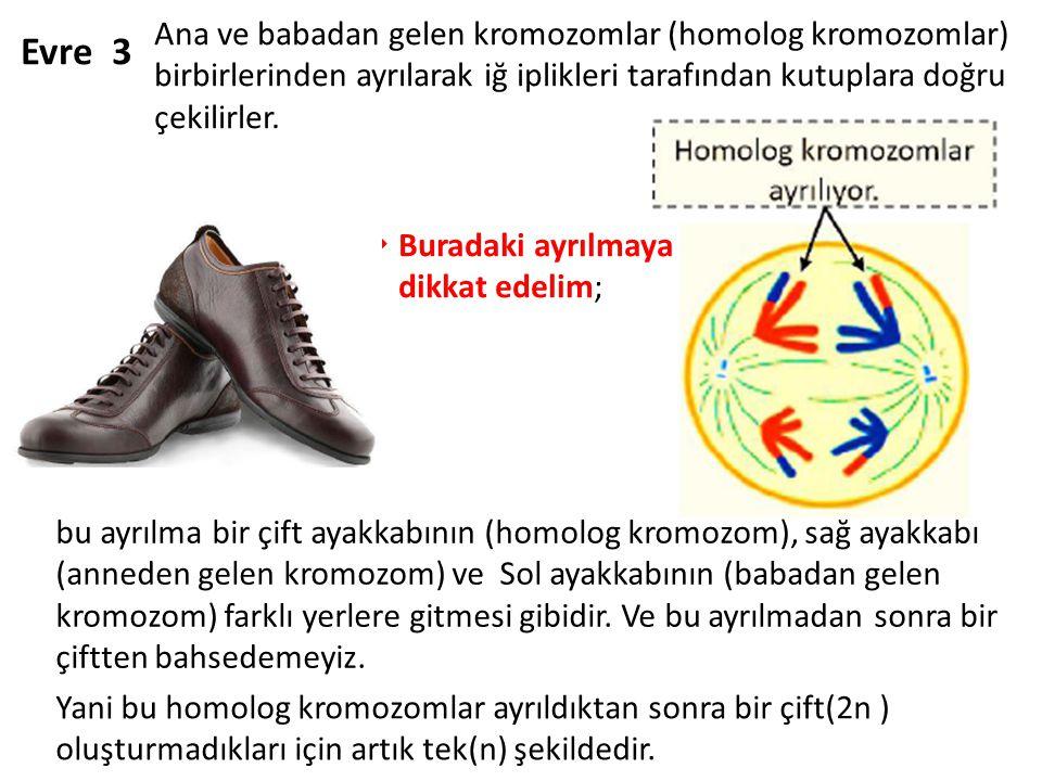 Ana ve babadan gelen kromozomlar (homolog kromozomlar) birbirlerinden ayrılarak iğ iplikleri tarafından kutuplara doğru çekilirler.