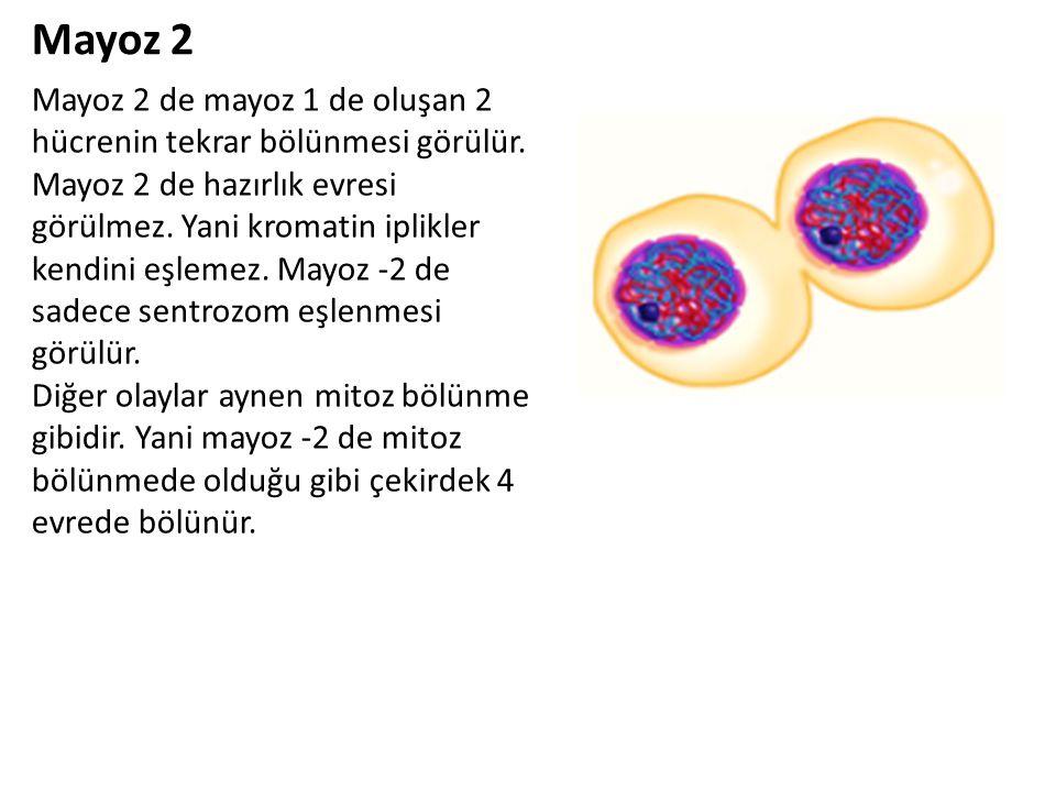 Mayoz 2 Mayoz 2 de mayoz 1 de oluşan 2 hücrenin tekrar bölünmesi görülür.