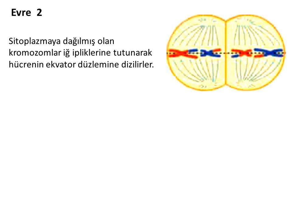 Evre 2 Sitoplazmaya dağılmış olan kromozomlar iğ ipliklerine tutunarak hücrenin ekvator düzlemine dizilirler.