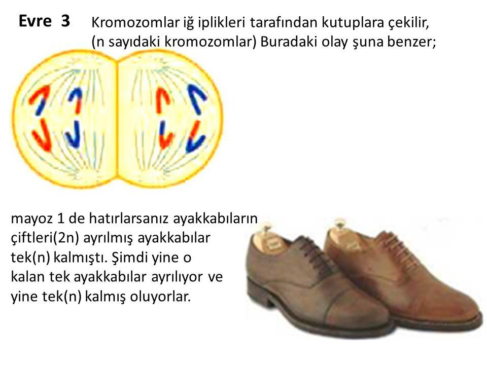Evre 3 Kromozomlar iğ iplikleri tarafından kutuplara çekilir,