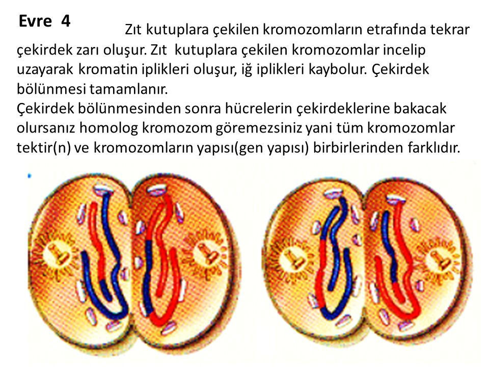 Evre 4