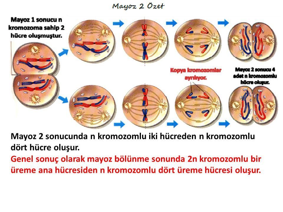 Mayoz 2 sonucunda n kromozomlu iki hücreden n kromozomlu dört hücre oluşur.