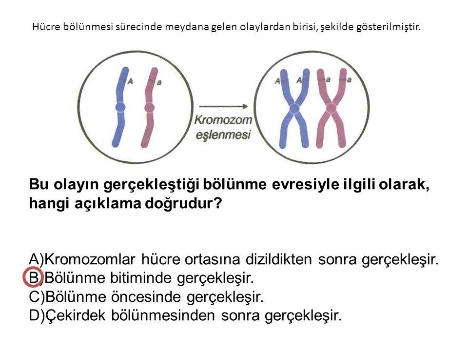 A)Kromozomlar hücre ortasına dizildikten sonra gerçekleşir.