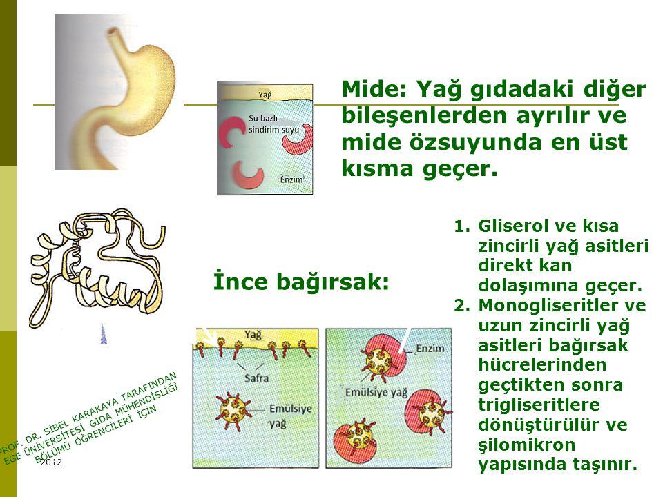 Yağların sindirimi Mide: Yağ gıdadaki diğer bileşenlerden ayrılır ve mide özsuyunda en üst kısma geçer.