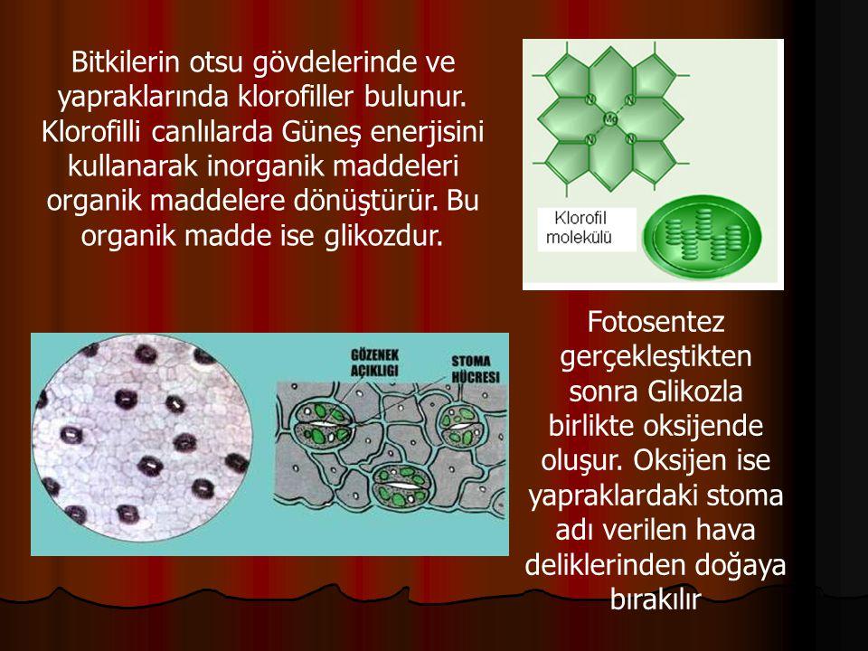 Bitkilerin otsu gövdelerinde ve yapraklarında klorofiller bulunur