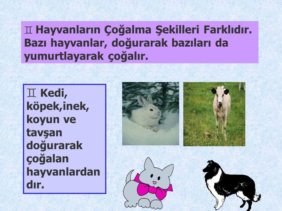 Kedi, köpek,inek, koyun ve tavşan doğurarak çoğalan hayvanlardandır.
