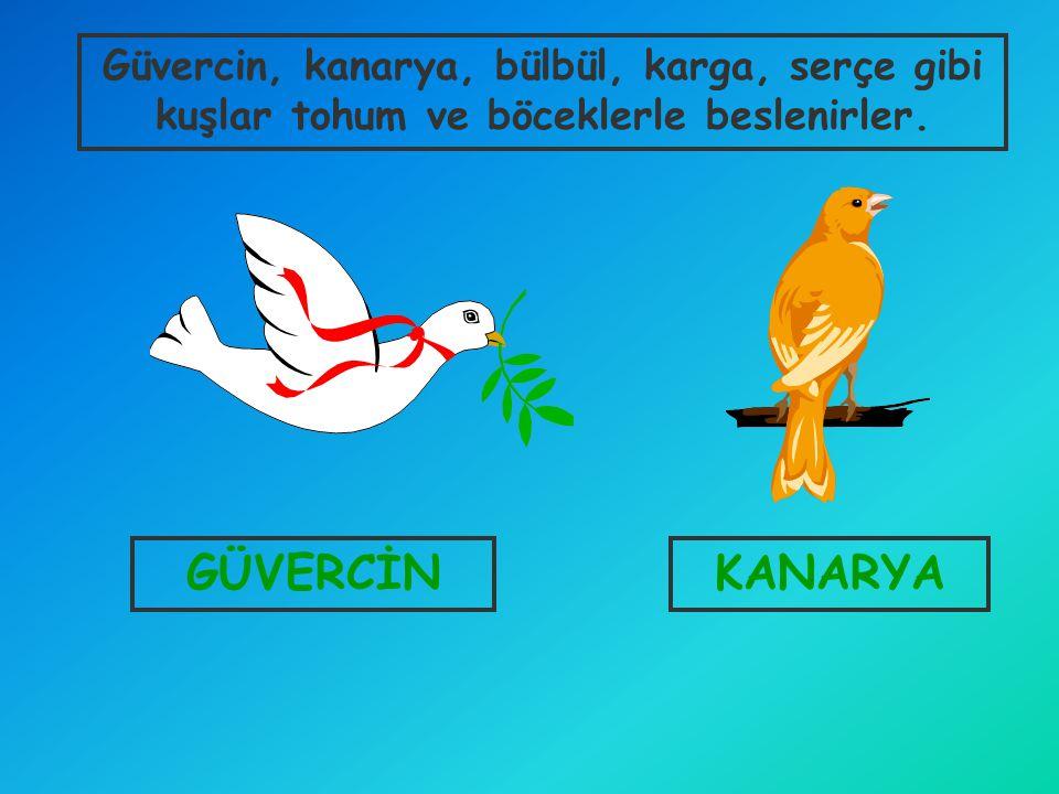 Güvercin, kanarya, bülbül, karga, serçe gibi kuşlar tohum ve böceklerle beslenirler.