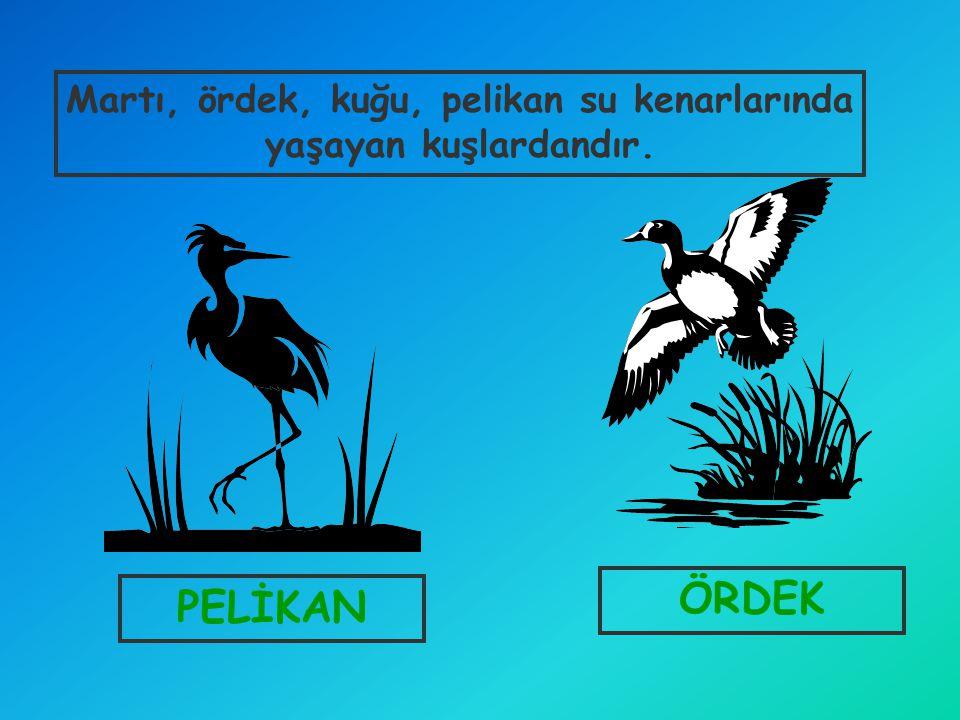 Martı, ördek, kuğu, pelikan su kenarlarında yaşayan kuşlardandır.
