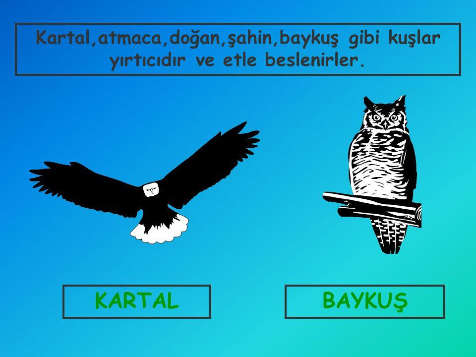 Kartal,atmaca,doğan,şahin,baykuş gibi kuşlar yırtıcıdır ve etle beslenirler.