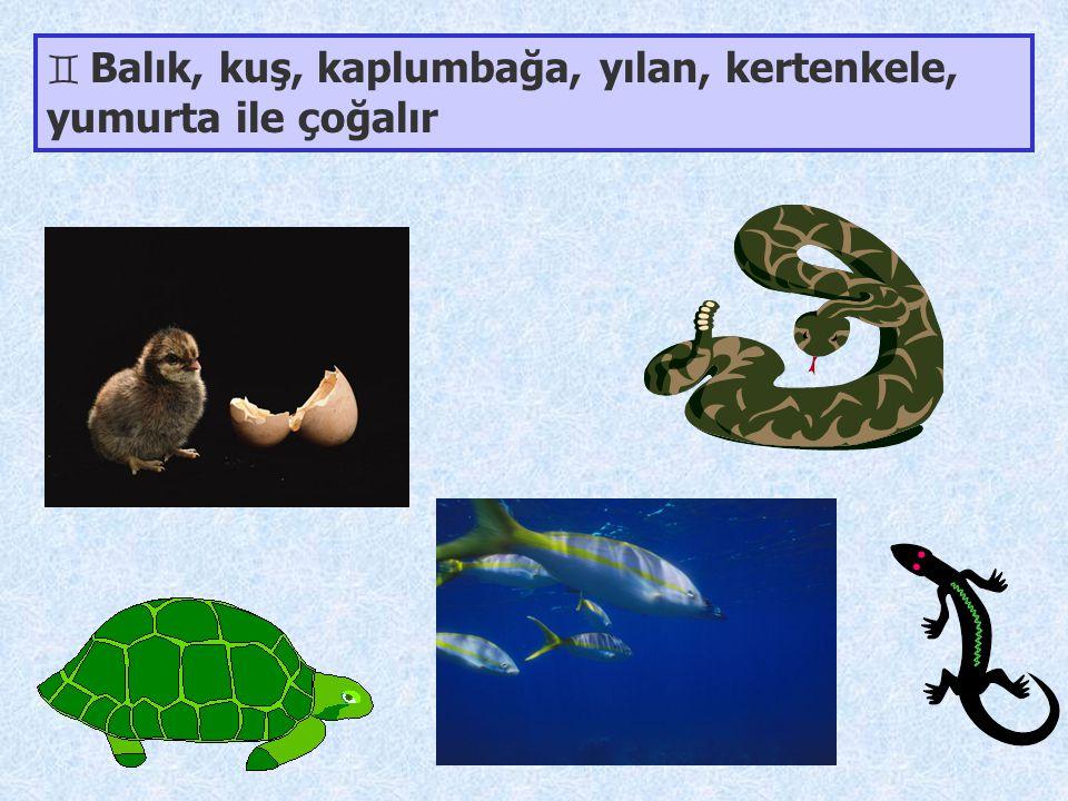 Balık, kuş, kaplumbağa, yılan, kertenkele, yumurta ile çoğalır