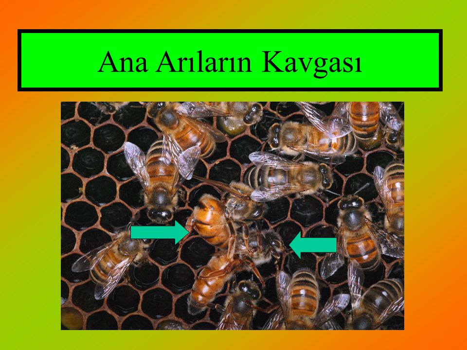 Ana Arıların Kavgası