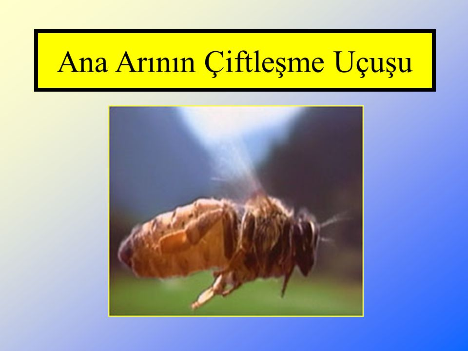 Ana Arının Çiftleşme Uçuşu