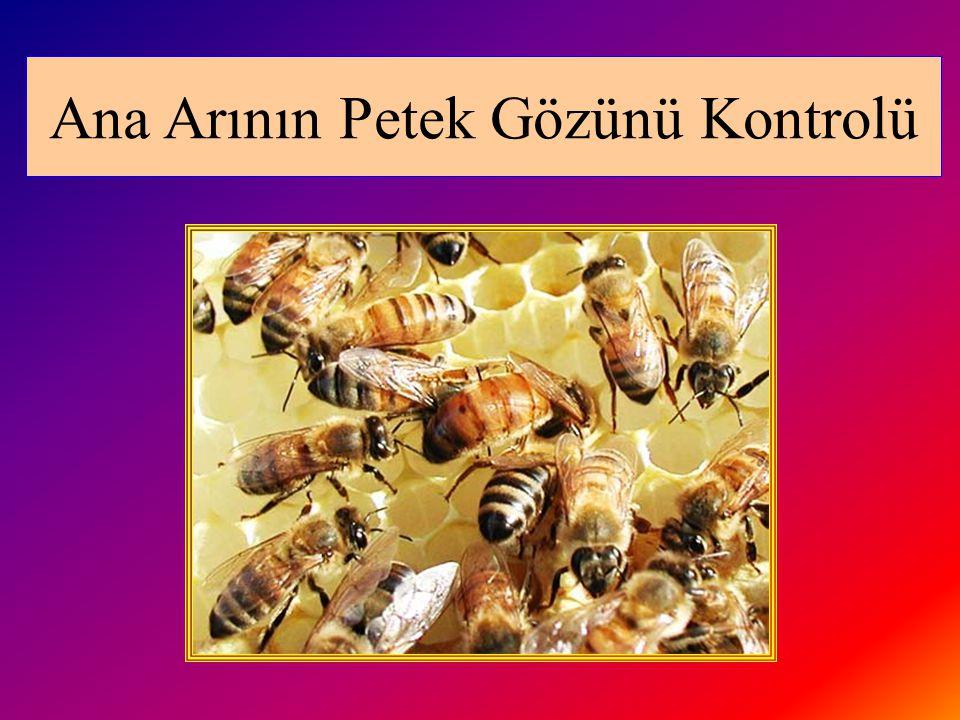 Ana Arının Petek Gözünü Kontrolü