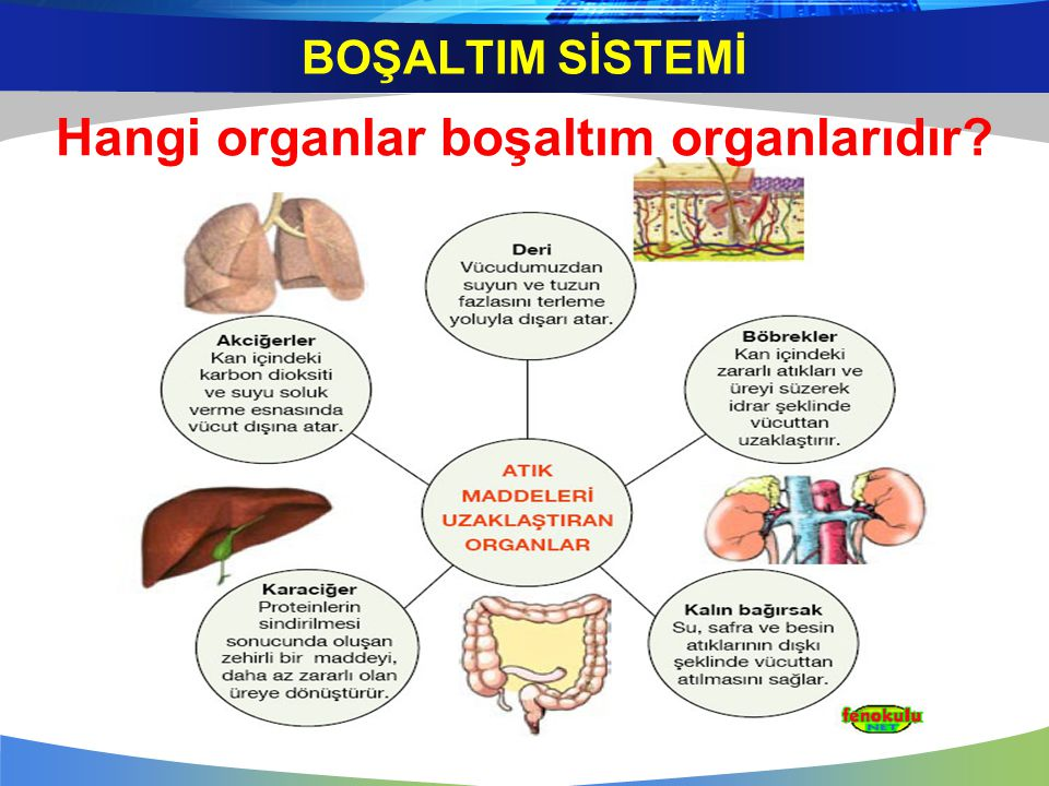 Hangi organlar boşaltım organlarıdır