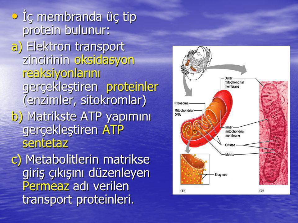 İç membranda üç tip protein bulunur: