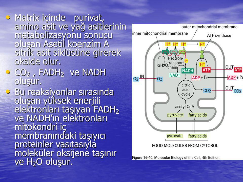 Matrix içinde purivat, amino asit ve yağ asitlerinin metabolizasyonu sonucu oluşan Asetil koenzim A sitrik asit siklüsüne girerek okside olur.