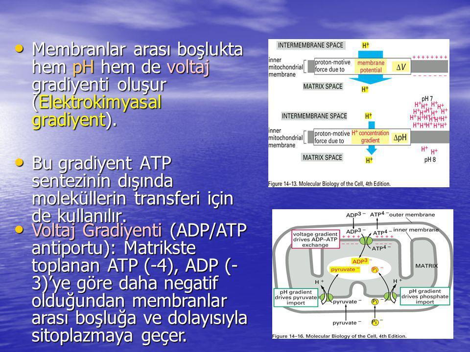 Membranlar arası boşlukta hem pH hem de voltaj gradiyenti oluşur (Elektrokimyasal gradiyent).