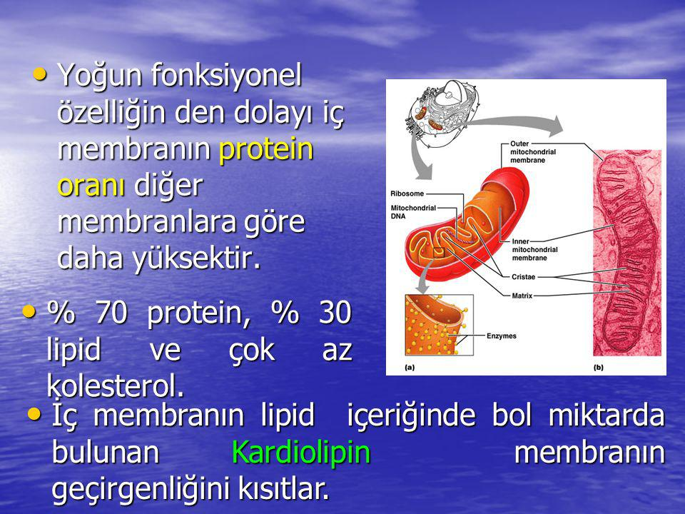 Yoğun fonksiyonel özelliğin den dolayı iç membranın protein oranı diğer membranlara göre daha yüksektir.