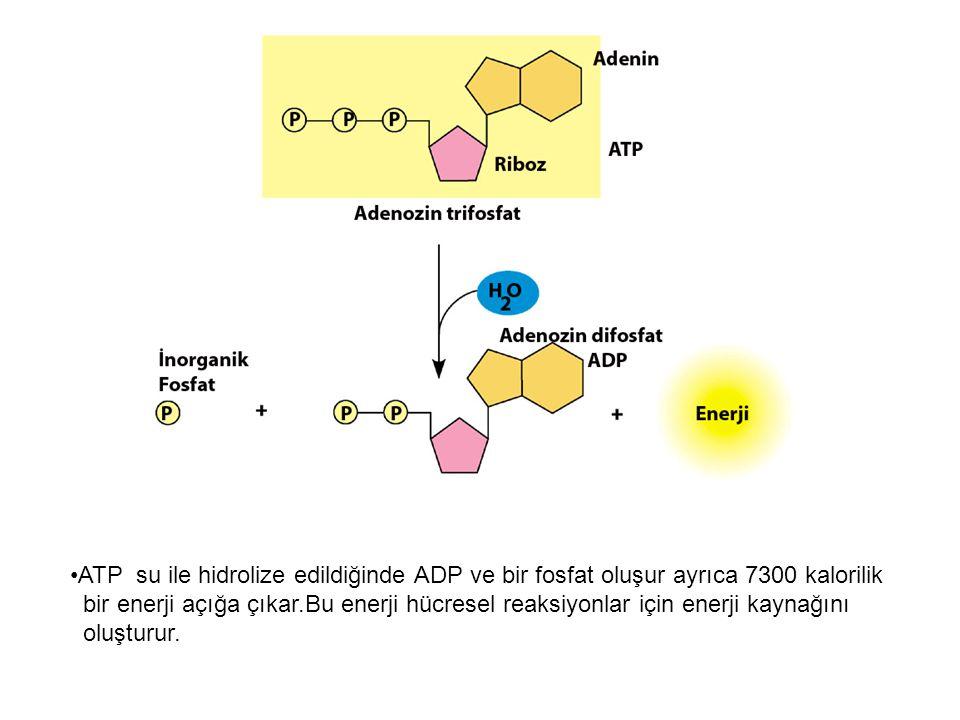 ATP su ile hidrolize edildiğinde ADP ve bir fosfat oluşur ayrıca 7300 kalorilik