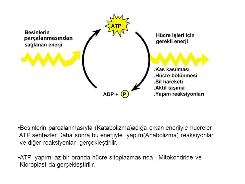 Besinlerin parçalanmasıyla (Katabolizma)açığa çıkan enerjiyle hücreler