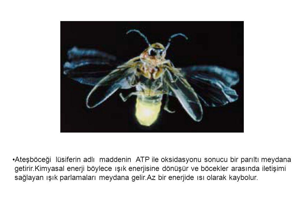 Ateşböceği lüsiferin adlı maddenin ATP ile oksidasyonu sonucu bir parıltı meydana