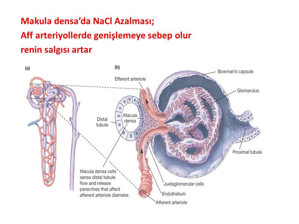 Makula densa'da NaCl Azalması; Aff arteriyollerde genişlemeye sebep olur renin salgısı artar