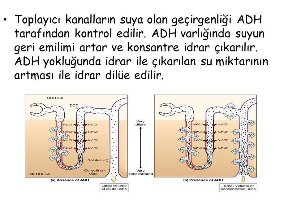 Toplayıcı kanalların suya olan geçirgenliği ADH tarafından kontrol edilir.