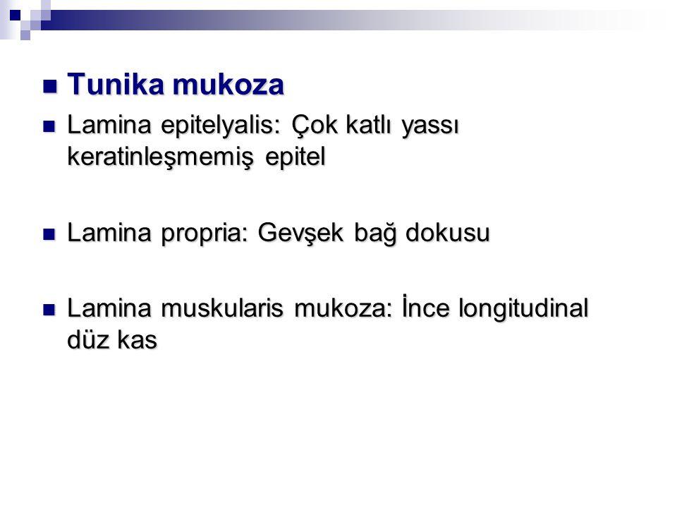 Tunika mukoza Lamina epitelyalis: Çok katlı yassı keratinleşmemiş epitel. Lamina propria: Gevşek bağ dokusu.