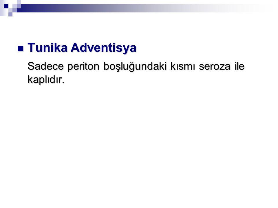 Tunika Adventisya Sadece periton boşluğundaki kısmı seroza ile kaplıdır.