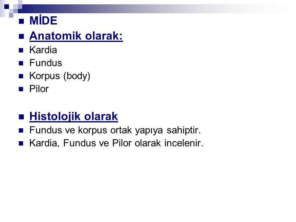 MİDE Anatomik olarak: Histolojik olarak Kardia Fundus Korpus (body)