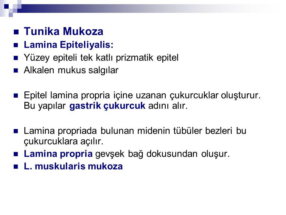 Tunika Mukoza Lamina Epiteliyalis: