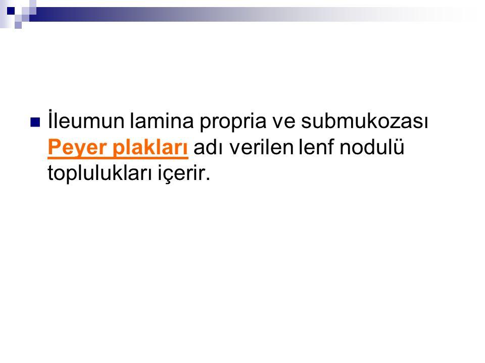 İleumun lamina propria ve submukozası Peyer plakları adı verilen lenf nodulü toplulukları içerir.