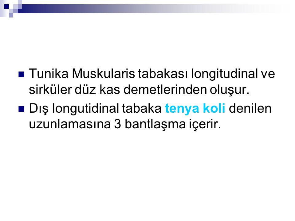 Tunika Muskularis tabakası longitudinal ve sirküler düz kas demetlerinden oluşur.