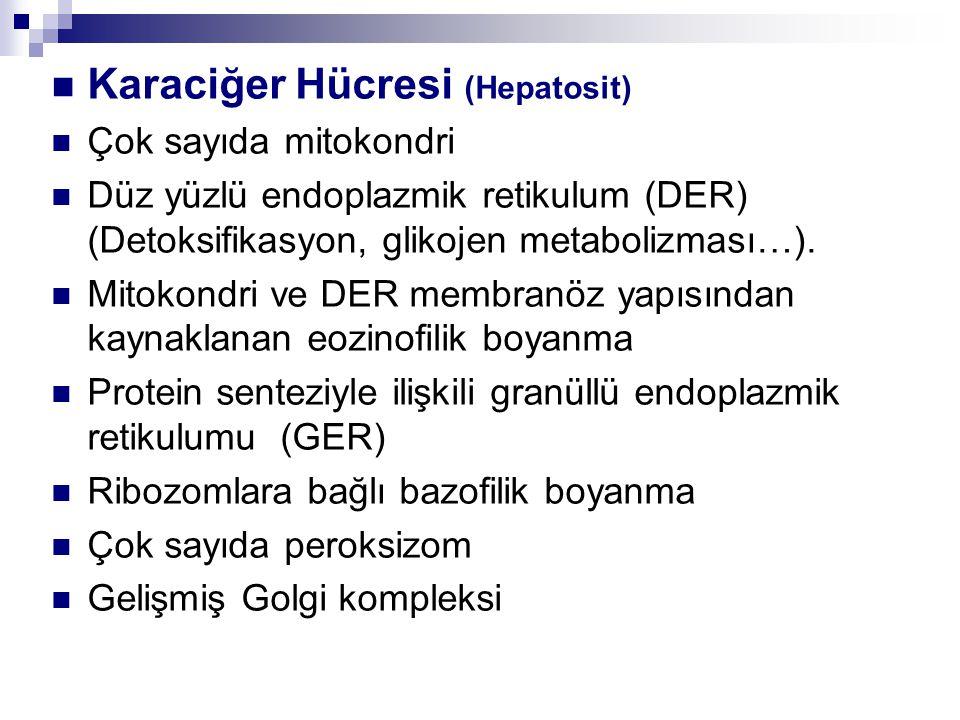 Karaciğer Hücresi (Hepatosit)