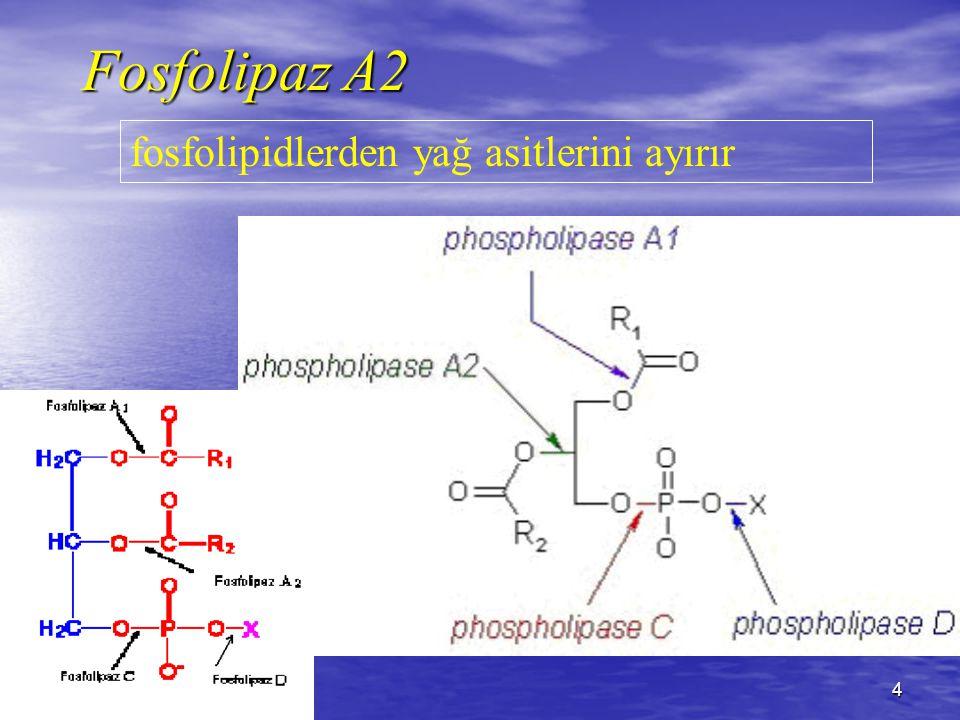 Fosfolipaz A2 fosfolipidlerden yağ asitlerini ayırır