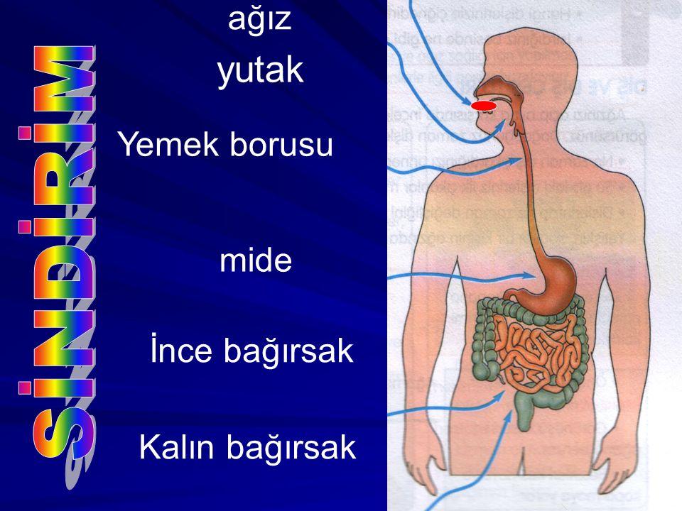 ağız yutak Yemek borusu SİNDİRİM mide İnce bağırsak Kalın bağırsak
