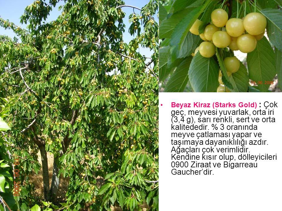 Beyaz Kiraz (Starks Gold) : Çok geç, meyvesi yuvarlak, orta iri (3,4 g), sarı renkli, sert ve orta kalitededir.