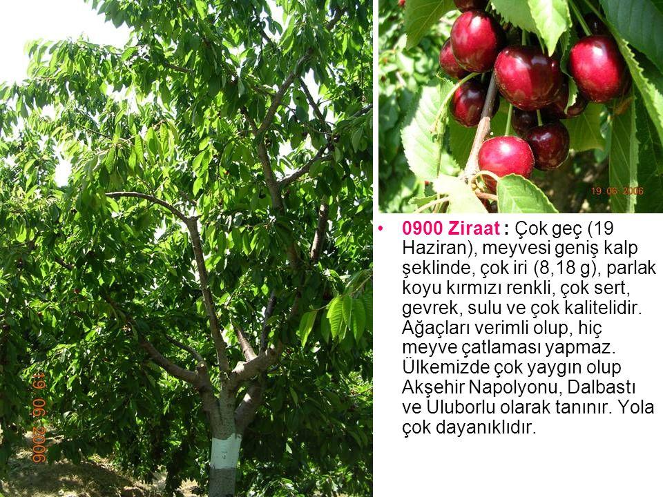0900 Ziraat : Çok geç (19 Haziran), meyvesi geniş kalp şeklinde, çok iri (8,18 g), parlak koyu kırmızı renkli, çok sert, gevrek, sulu ve çok kalitelidir.